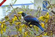 A Tui in our Kowhai tree feeds on the nectar of its golden flowers..